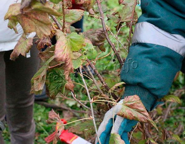 Ранней осенью нужно удалить все сухие, больные и лишние молодые пагоны