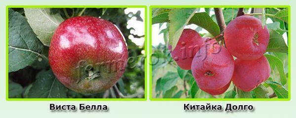 Ранние сорта красных яблок