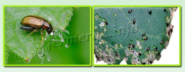 Рассаду капусты часто атакует крестоцветная блошка