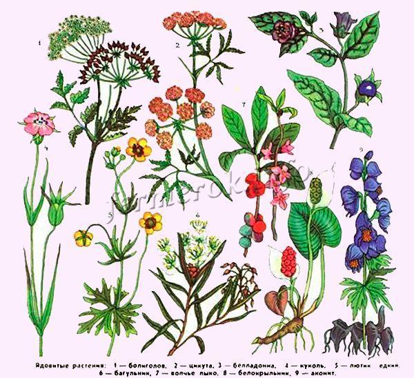 Растения которые противопоказаны для кормления индюков