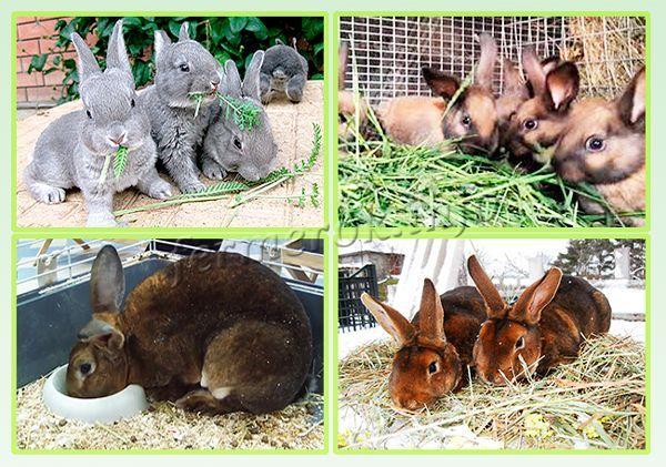 Рацион для кролей породы Рекс стоит делать питательным и полезным