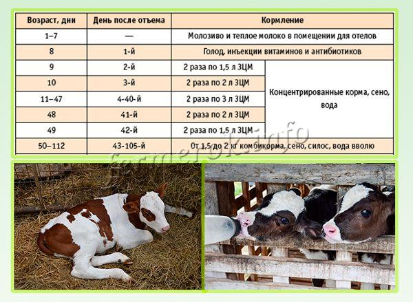 Рацион кормления телят от 1 до 3 месяцев