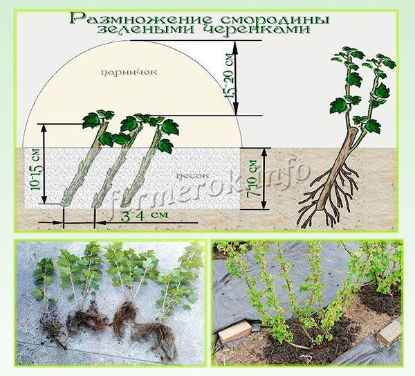 Размножение смородины зелеными черенками