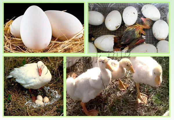 Размножение гусей Линда