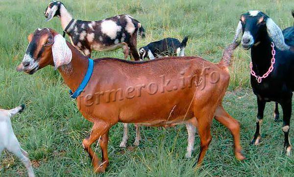 Разнообразие окрасов Нубийских коз