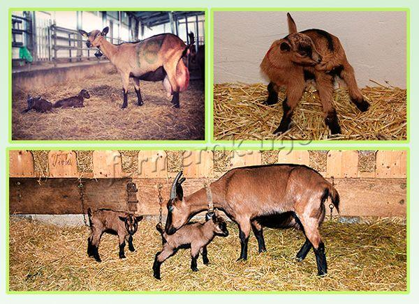 Разведение Альпийской породы коз