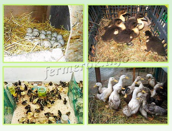Разведение Башкирской утки