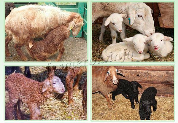 Разведение эдильбаевских овец