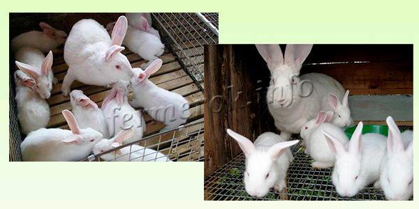 Разведение кроликов Белый Великан