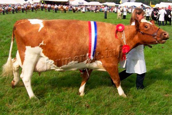 Рекомендации по выбору молочной коровы
