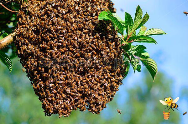 Роение пчел Карника