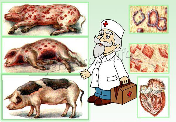 Рожа свиней. Внешние проявления заболевания