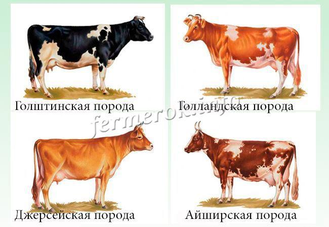 Самые известные породы коров