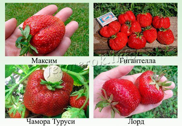 Самые крупноплодные сорта клубники
