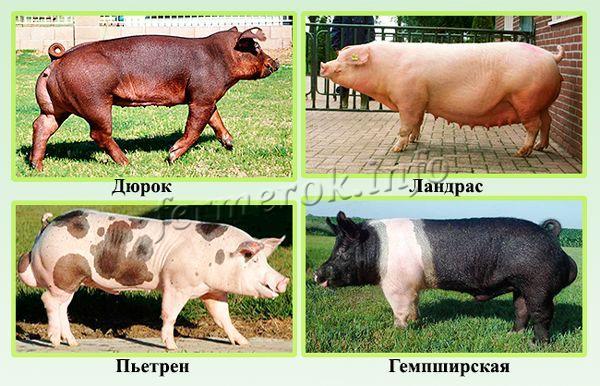 Самые лучшие мясные породы свиней