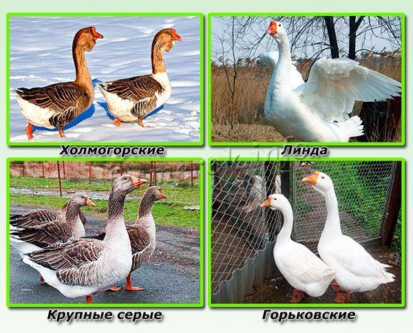 Самые простые в разведении породы гусей