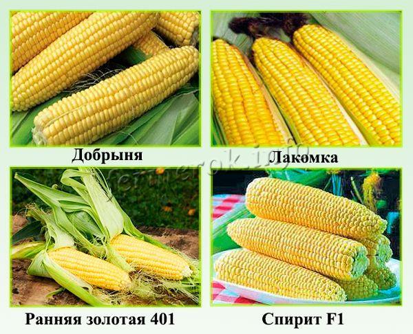 Самые сладкие сорта кукурузы