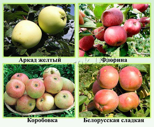 Самые сладкие сорта яблонь для Урала