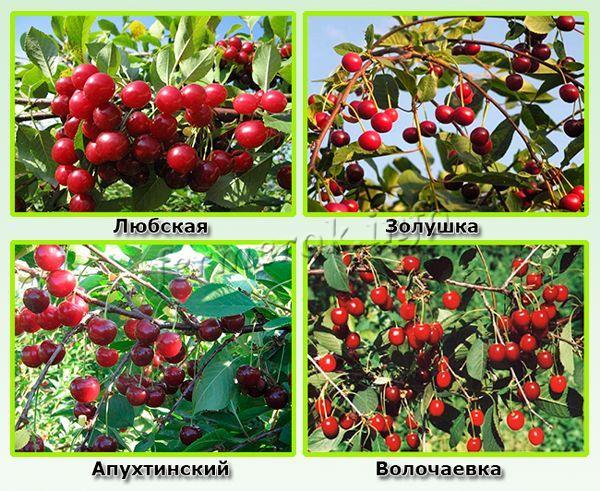 Самые урожайные самоплодные сорта вишни
