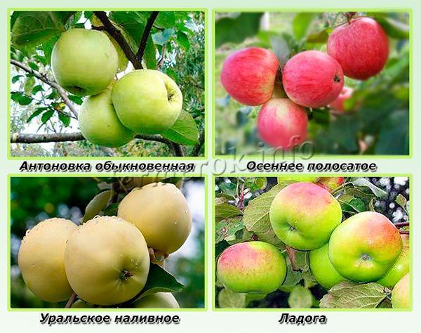 Самые урожайные сорта яблонь для Ленинграда