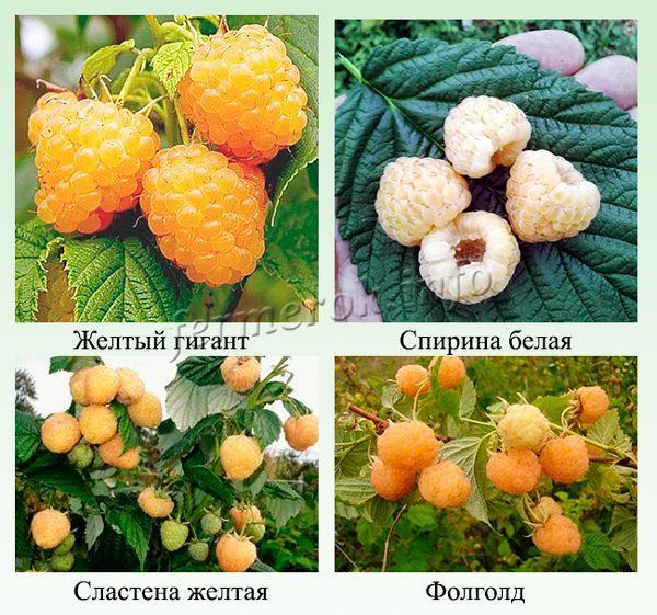 Самые урожайные сорта желтой малины