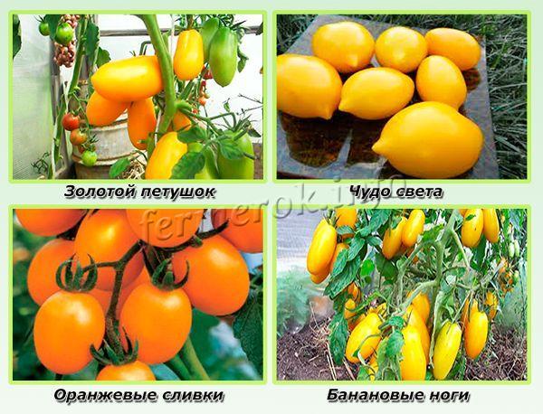 Самые урожайные желтые сорта помидор