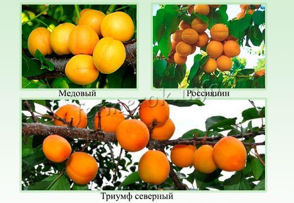 Самые выносливые сорта абрикос для Подмосковья