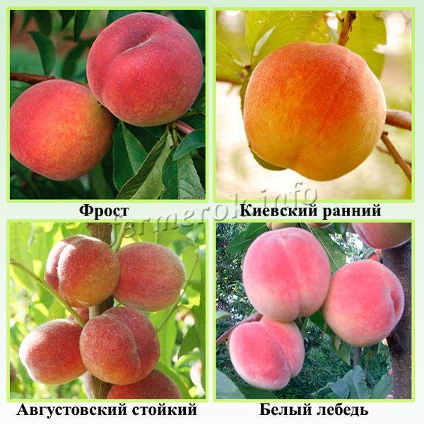Самые зимостойкие сорта персиков
