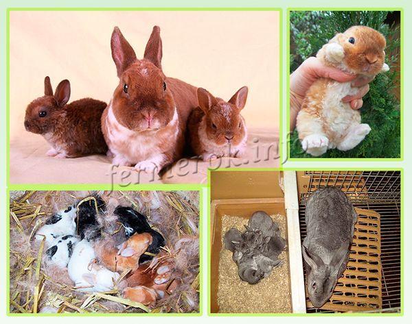 Самый простой способ повысить выживаемость – оставить крольчат самке