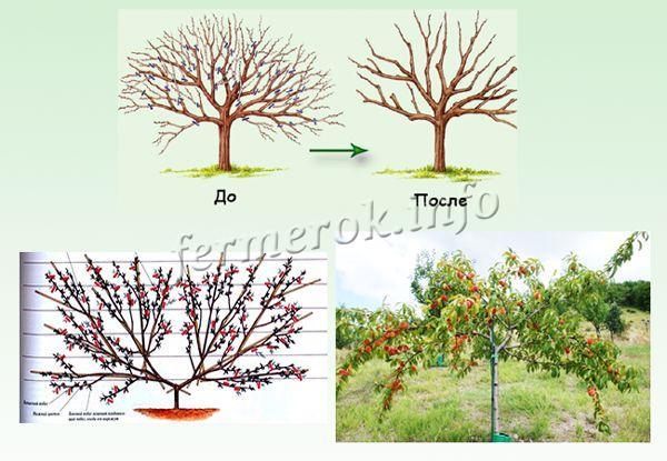 Схема обрезки персика