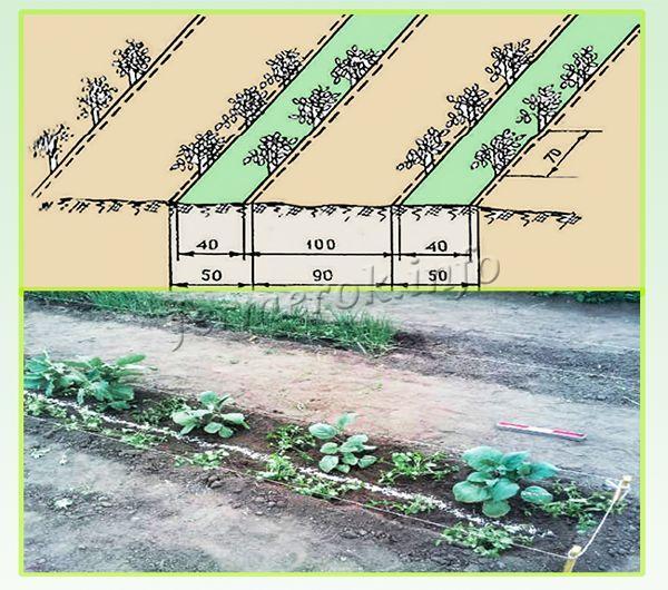 Схема посадки баклажан