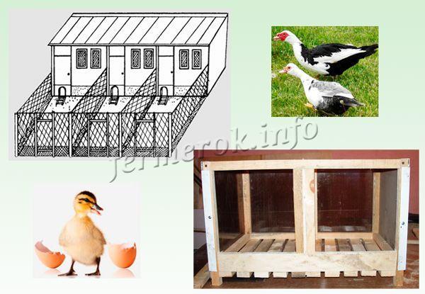 Схема птичника и гнездо для индоуток