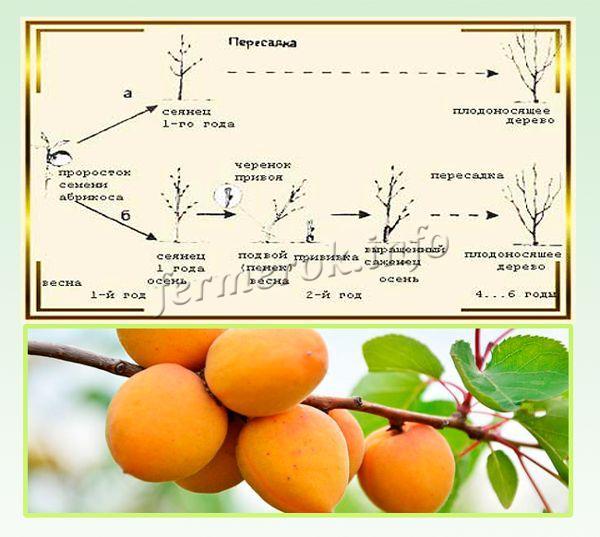 Схема выращивания абрикос из косточки