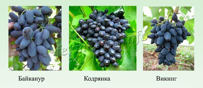 Синие и черные сорта раннего винограда 1