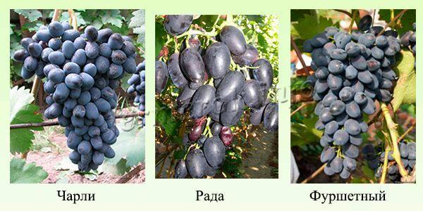 Ранние сорта синего и черного винограда