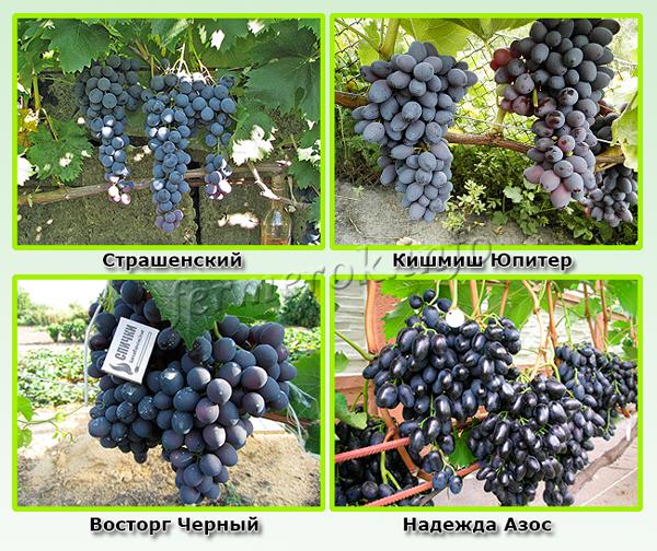 Синие сорта винограда самые урожайные
