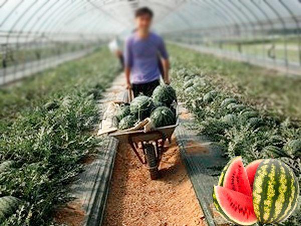 Собирают урожай только в сухую погоду