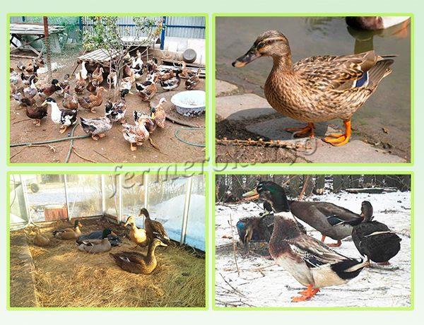 Содержание Башкирской утки зимой и летом