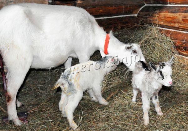 Содержание козы в загоне после окота