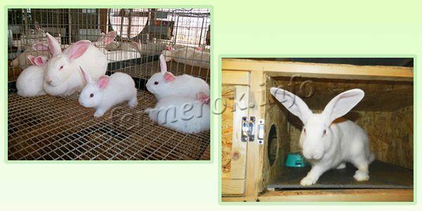 Содержание кроликов Белый Великан