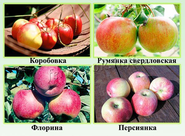 Сорта яблонь по сроку созревания