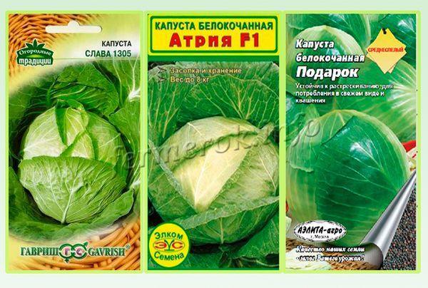 Сорта капусты для засолки и квашения