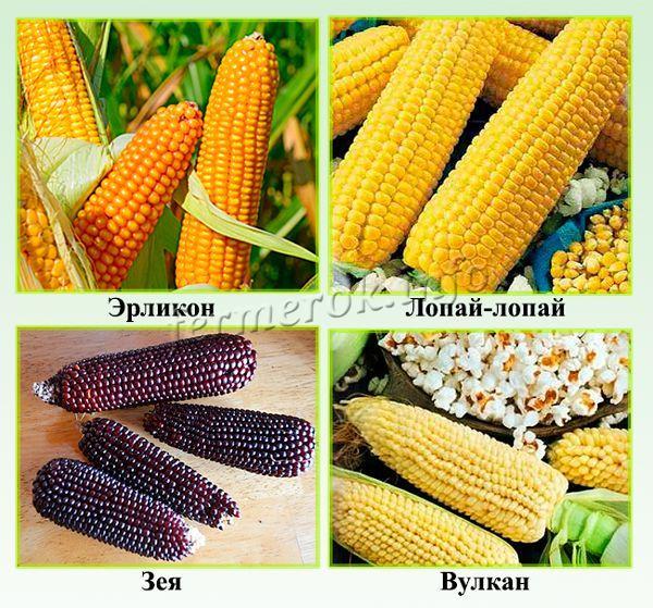 Сорта кукурузы для попкорна