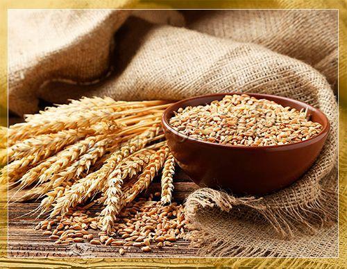 раннеспелые сорта пшеницы