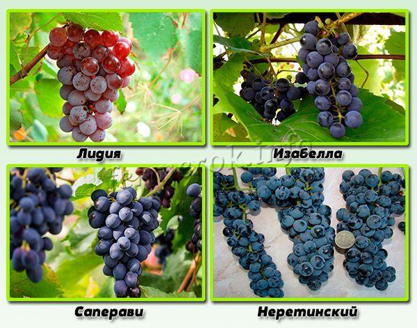 Сорта винограда, которые очень любят влажную среду