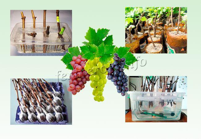 Способы проращивания черенков винограда