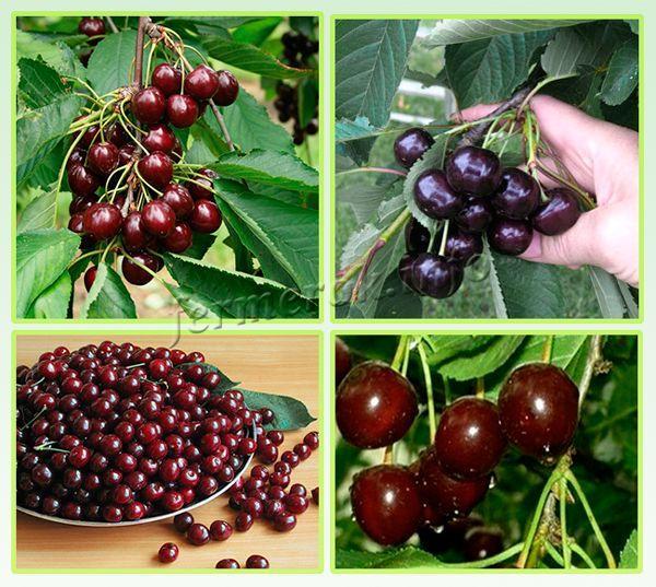 Средняя урожайность 10-12 кг с дерева