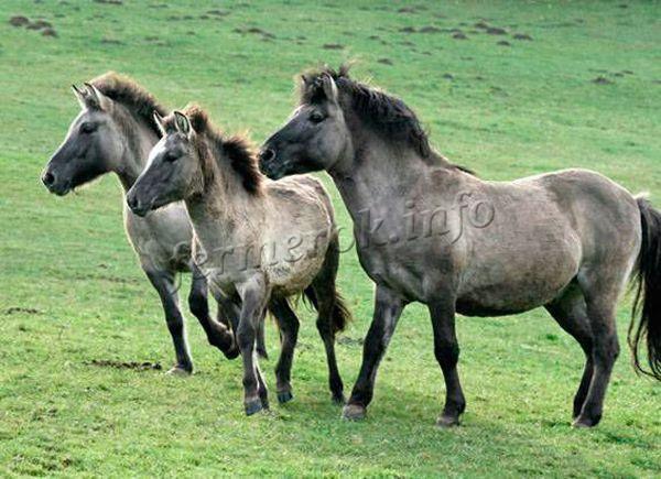 Степной тарпан предок Лошади Пржевальског