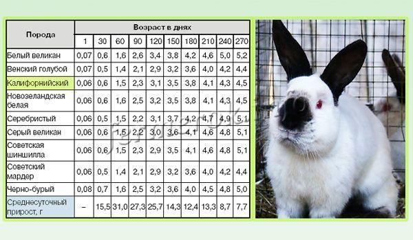 Суточный прирост Калифорнийских кроликов