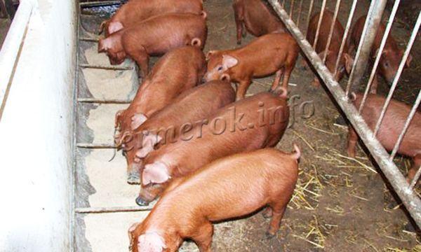 Свинарник делают простым, но теплым